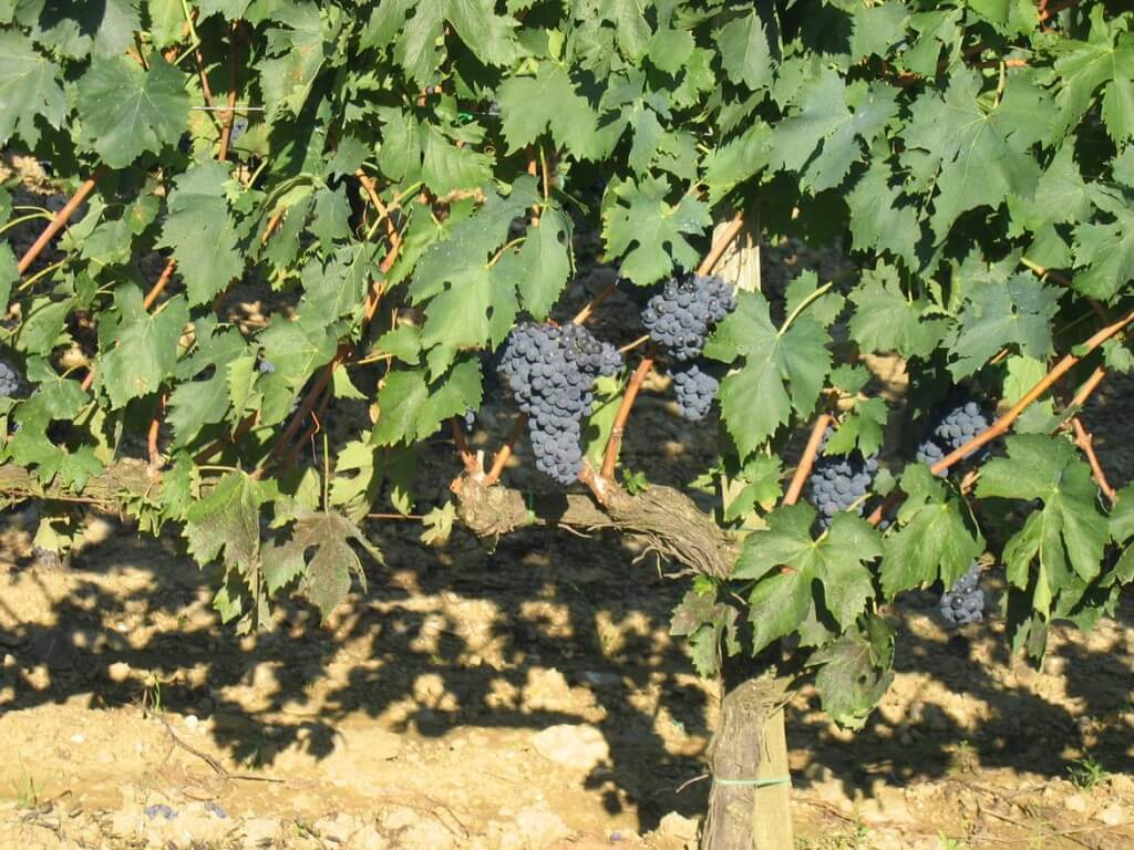 Grapevine with purple grapes