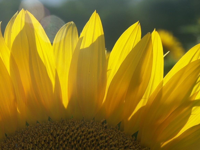 close-up sunflower petals