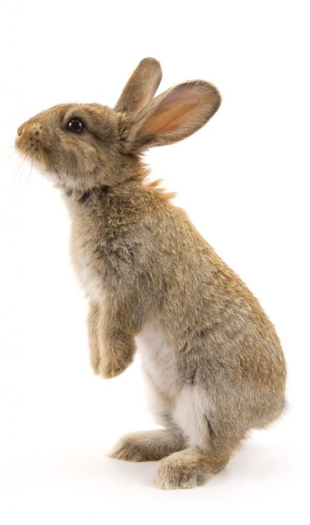 Fluffy bunny standing on feet